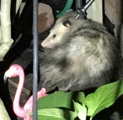Canadian Opossum resting in the backyard