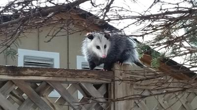 Possum in Newcastle, Ontario, Canada