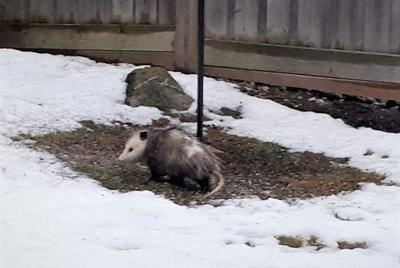 Opossum in Halton Hills Ontario