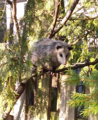Possum in Pickering walking along the fence