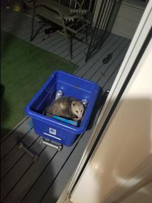 Opossum in Clarington Ontario