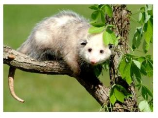 Possum in a tree in Canada, Opossum