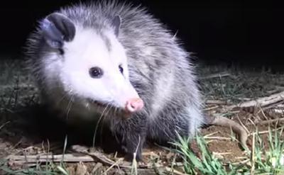 Possums are everywhere