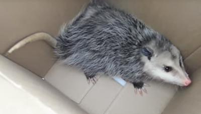 Possum caught in a box