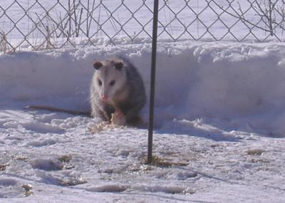 Possum in the Snow