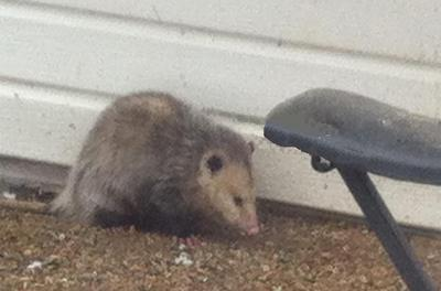 Possum in the yard