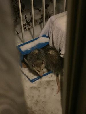 Two Possums in the box bed