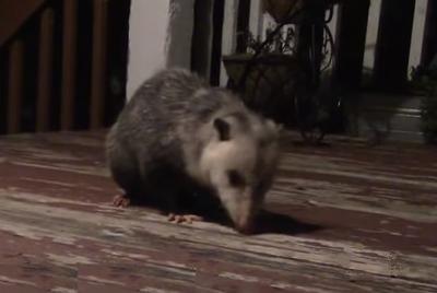 Canadian Opossum on a deck