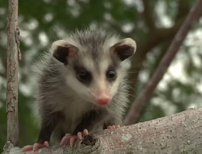 Little possum in a tree