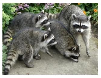 Four Raccoons huddled together, striped tail animals, masked bandits Canada
