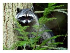 Raccoon - Canadian Animals