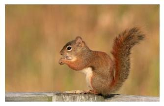 Red Squirrel eating nuts, Ontario