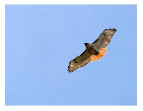 Red tail hawk in flight showing red tail against a blue sky background