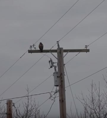 Red Tailed Hawk on utility pole