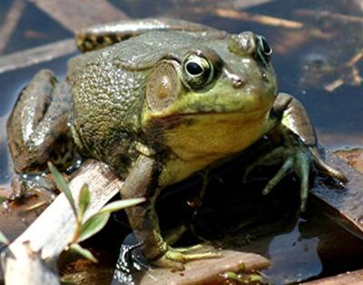 Green Frog - close up