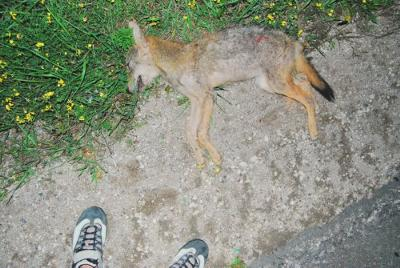 Roadkill :Coyote Pup Found 9:PM Aug. 10 2011