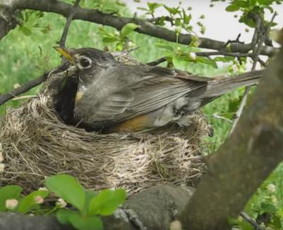 North American Robin on nest