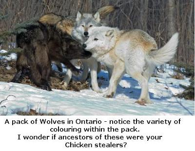 Wolves in Ontario