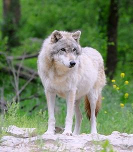 Ontario Wolf - courtesy of Dreamstime