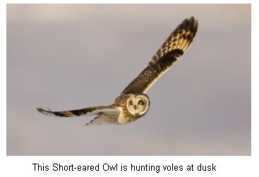 Short Eared Owl hunting Voles at dusk