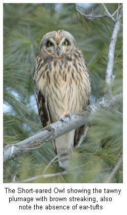Short Eared Owl on a branch of an evergreen tree