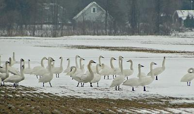 Resting Tundra Swans