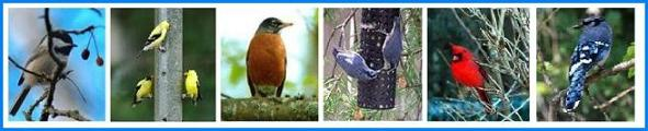 Backyard Birds - Chickadee, American Goldfinch, American Robin, Nuthatches, Cardinal, Blue Jay
