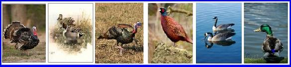 Ontario Game Birds such as the wild turkey, pheasant, Canada Goose and wild Mallard