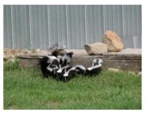 Family of Skunks