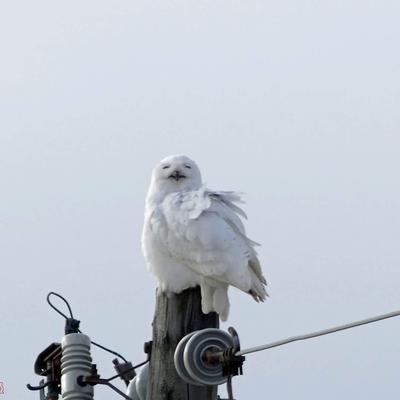 Snowy Owl in Canada