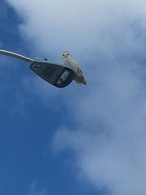 Snowy Owl at Costco, Grimsby