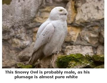 Male Snowy Owl showing white plumage