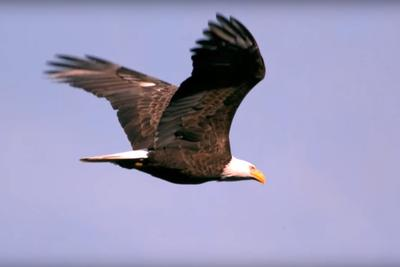 Soaring Ontario Bald Eagle