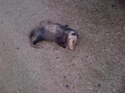 Poor Possum