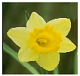 Daffodil of spring in Ontario