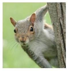 North America Squirrel