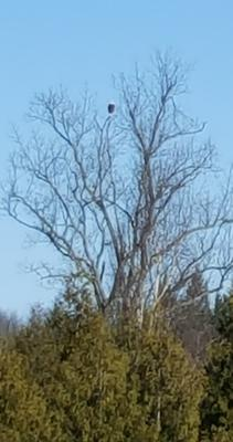 Bald Eagle on Sturgeon Point Road