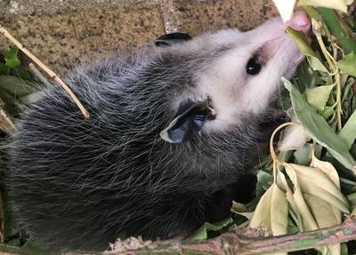 Etobicoke Possum