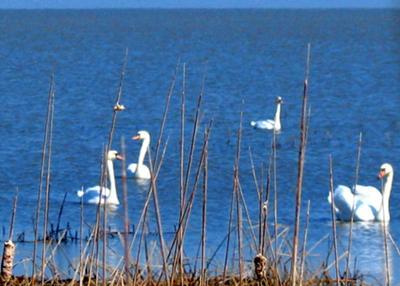 Swans at Long Point, Ontario