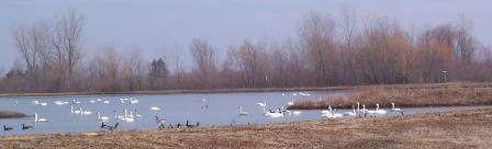 Tundra Swans, Aylmer, Ontario
