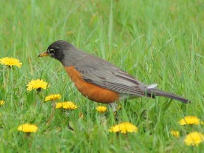 Robin, Humber Park