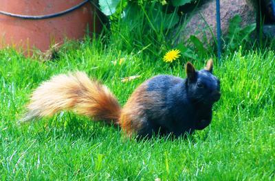 Halloweeni Squirrel