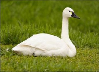 Tundra Swan resting Ontario