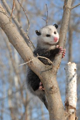 Possum, also called the Virginia Opossum