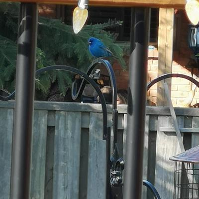 Indigo Bunting at the back yard feeder