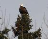 Bald Eagle (courtesy of Kaye Edmonds)