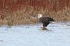 Bald Eagle on the Maitland