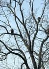 Bald Eagle Beauties