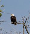 Mississauga Bald Eagle
