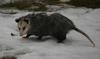 Possum in Cobourg Ontario